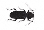 House Longhorn Beetle
